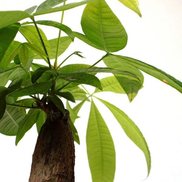 发财树可以扦插水培吗