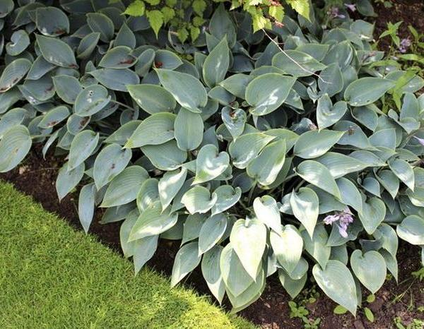 Why Are My Hostas Turning Yellow and Brown?