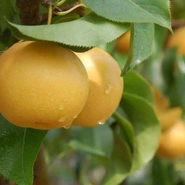 果树类虫害:梨云翅斑螟