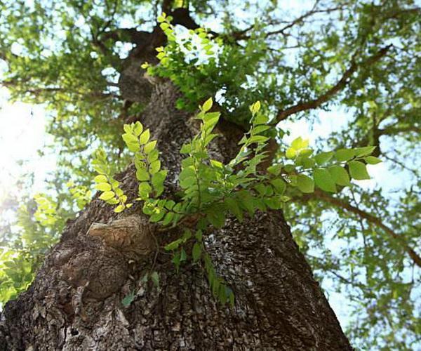 9月末是榆绿毛萤叶甲虫第二次高峰