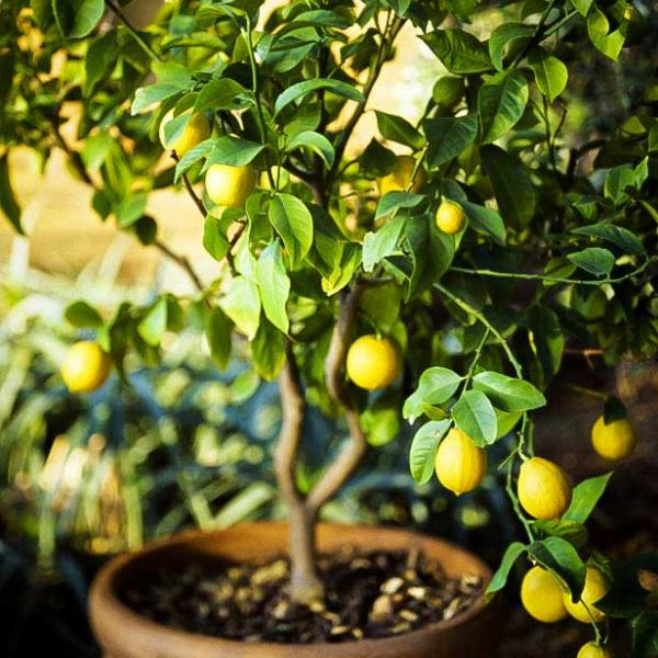 How to Grow a Lemon Tree in Pot | Care and Growing Lemon Tree
