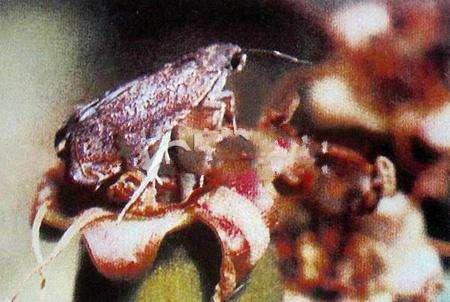 果树类虫害:山楂小食心虫
