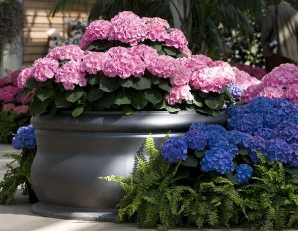 How to Plant Hydrangeas in Pots
