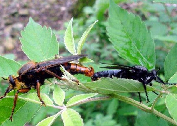果树类虫害:葛氏梨茎蜂