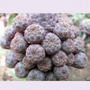 紫丽丸 - 綠手指(GFinger)百科