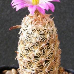 紫王子 - 綠手指(GFinger)百科