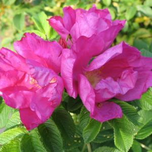 玫瑰 - 綠手指(GFinger)百科
