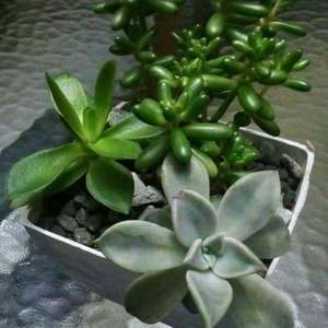jelly bean, crassula,ghost plant onerror=