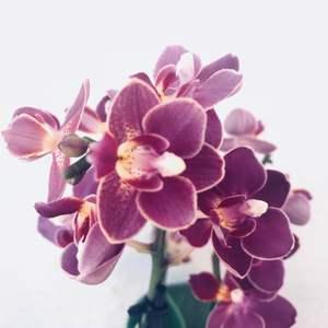 Orquídea Phalaenopsis morada onerror=