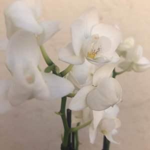 Orquídea Phalaenopsis blanca onerror=