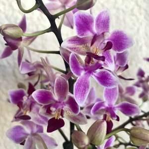 Orquídea mini onerror=