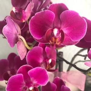 Orquídea Phalaenopsis fiusha onerror=