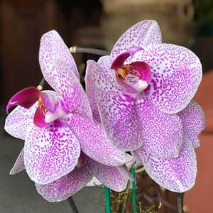 Orquídea Phalaenopsis rosa onerror=