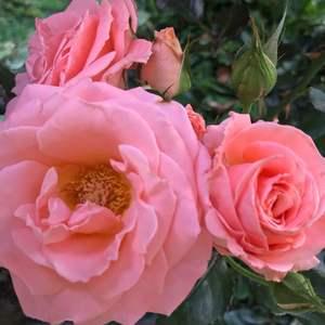 Rosa rosa onerror=