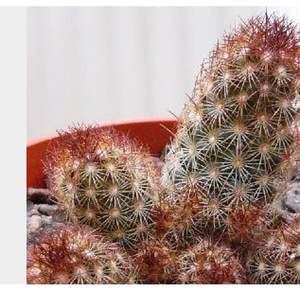Mammillaria elongata rubra/ onerror=