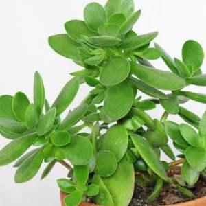 Crassula   Ovata / árbol de jade onerror=