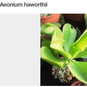 Echeverria pallida/ flor cubana onerror=