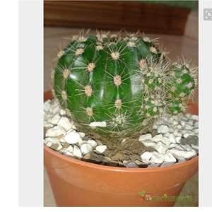 Echinopsis Oxygona/Ombligo de la Reyna onerror=