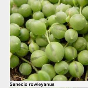 Senecio rowleyanus/ rosario onerror=