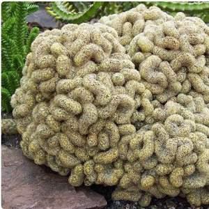 Mammillaria Elongata cristata monstrosus/ cerebro onerror=