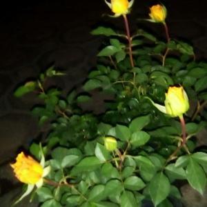Rosa onerror=