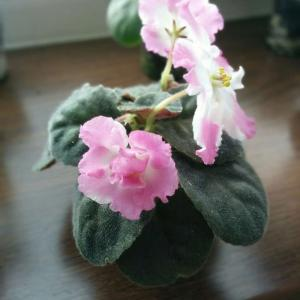 Pink violet  - Green Fingers(GFinger)Encyclopedia