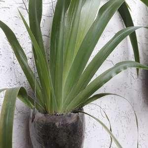 Neomarica gracilis (lirio caminante) onerror=