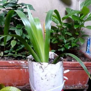 Neomarica gracilis (lirio caminante)(3) onerror=
