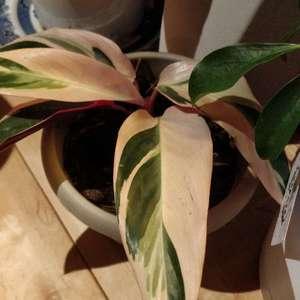 ctenanthe Oppenheimiana tricolor onerror=