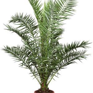 Phonix Palm onerror=