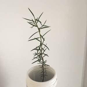 Totara tree onerror=