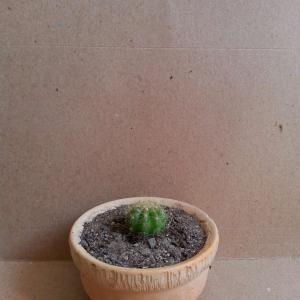 Echinopsis huascha / oxygona onerror=
