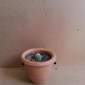 Mammillaria vetula sub gracils onerror=
