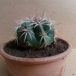 Echinocactus onerror=