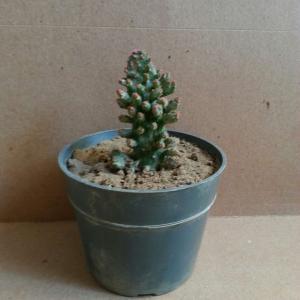 Opuntia monacantha f. monstruosa variegata onerror=