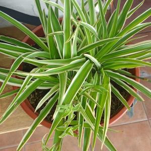 Lazo de amor-Chlorophytum comosum onerror=