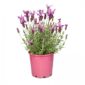 lavender onerror=