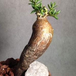 Pachypodium bispinosum onerror=