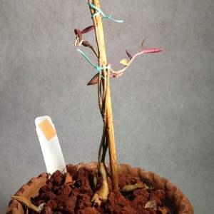 Monadenium rubellum onerror=