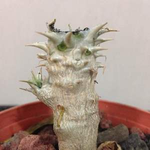 Pachypodium horombense onerror=