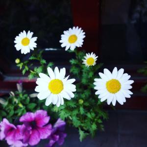 Piretro de dalmacia (Crysantemum Cinerariaefolium) onerror=