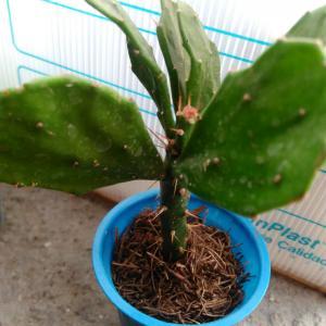 Opuntia Ficus Indica onerror=