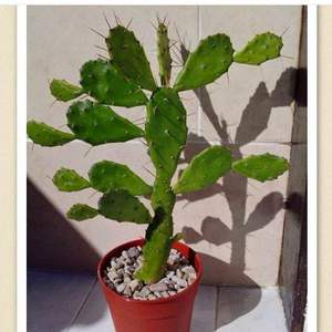 Opuntia Brasiliensis / Nopalito onerror=