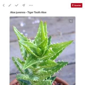 Aloe juvenna/ sabila diente de león onerror=