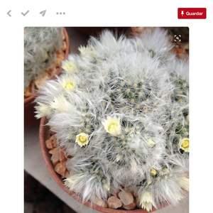 Mammillaria albicona / cactus dientes de león onerror=
