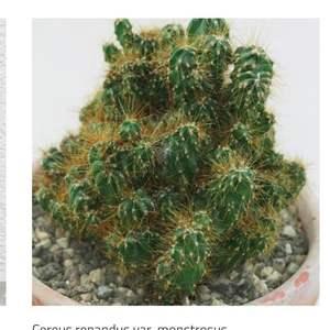 Cereus respandus var, monstruosa onerror=