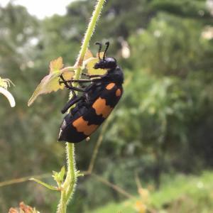 昆蟲-大橫紋芫菁