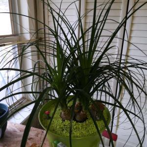 Ponytail Palm onerror=