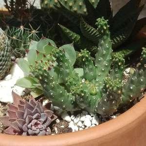 Euphorbia inermis (?) onerror=