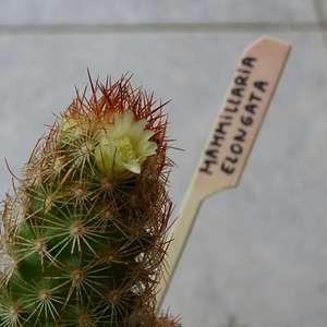 Mammillaria elongata onerror=